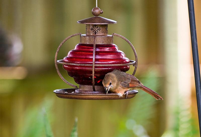 Female Cardinal_MG_1702