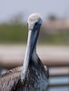 Young Pelican_4829
