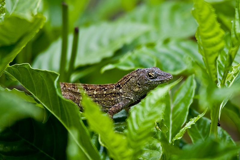 Lizard in Leaves_U8S0683