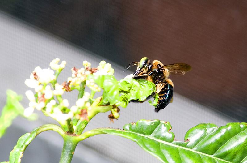 Honey Bee_MG_6103