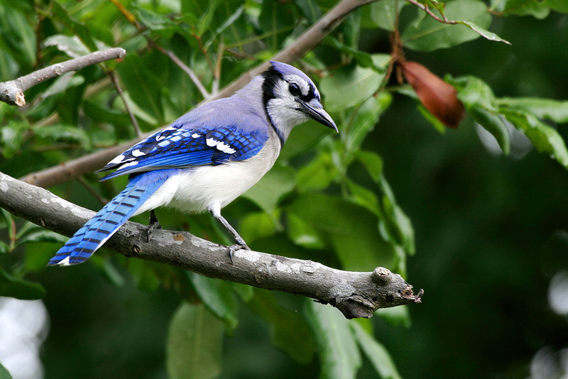 Bluejay_MG_1659