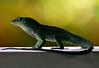 Dino Lizard 01_MG_1317