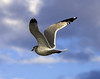 Seagull Flight_ JU8S2945
