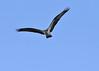 Hawk_ JU8S3353