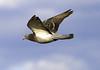 Pidgeon Flight_ JU8S2884