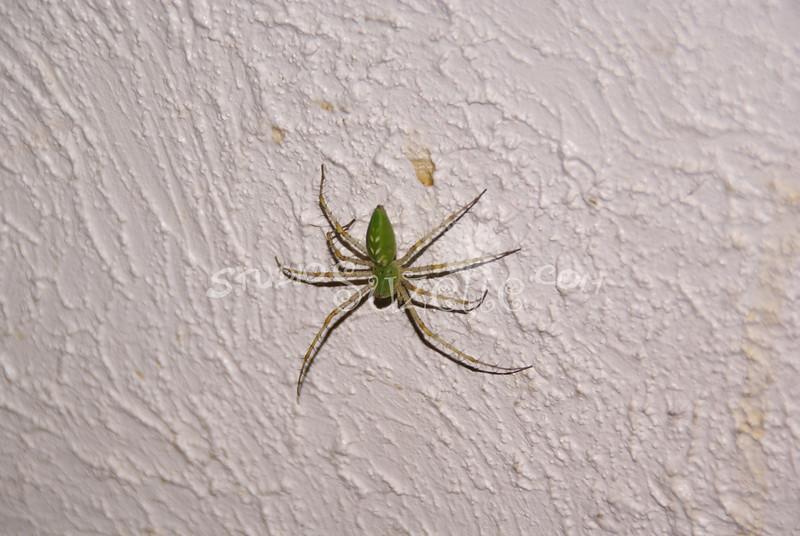 (101) Spider