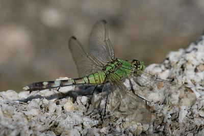 Green Dragonfly - Merritt Island, FL