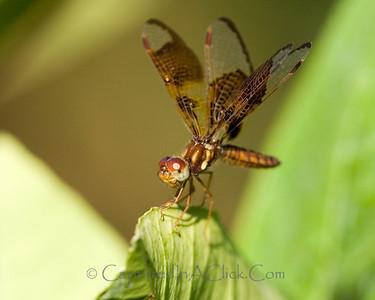 Strange Dragonfly