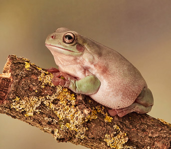 White's Tree Frog - called Barry!
