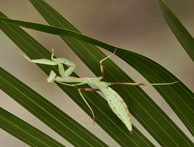 Asian Shield Mantis