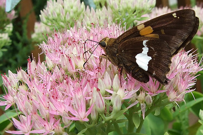 'Nother silver spotted skipper