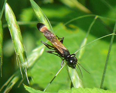 Thread-waisted Wasp (Ammophila pictipennis)