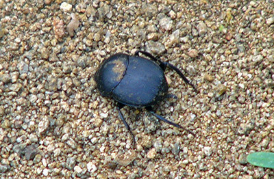 Dung Beetle,