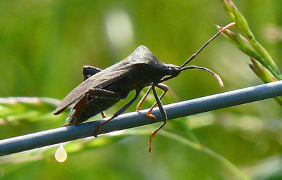 Wheelbug