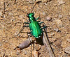 Six Spotted Green Tiger Beetle