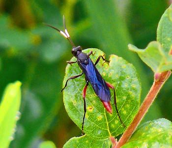 Ichneumon Wasp, (Limonethe maurator)