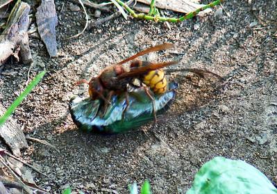 Giant (European) Hornet killing a Cicada