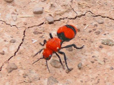 Eastern Velvet Ant
