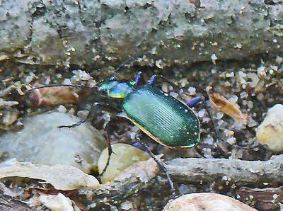 Caterpillar Hunter Beetle