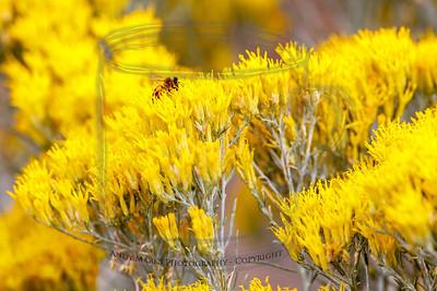 same bee in rabbit brush
