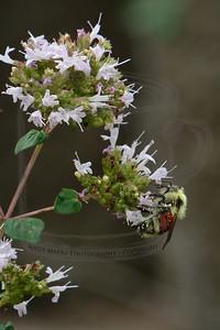 bumble-bee on oregano