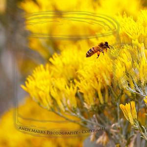 bee in rabbit brush