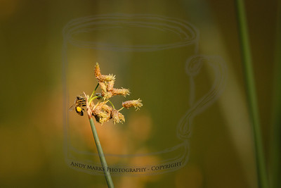 Honey bee working a pond frond.