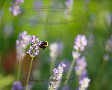"""Bumble Bees are """"tankers"""": they drink nectar.  (shot with late in the day sun, going for yellow/purple and purple/green as well as clarity)"""