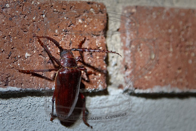 I finished making two splatter-painted t-shirts, reached down for a cup I left nearby, and as I came back up I saw this climbing the wall. Bugzilla, Texas Longhorn Bug, whatever, it spooked me. update: it's a Prionus beetle, the biggest in UT. Thank you Natl. History Society entomologist, 18Nov12