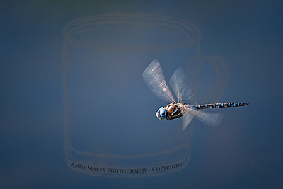 A Blue-eyed Darner, not to be confused with the California Darner. Cool blue, orange, black &white dragon fly, hovering over the pond. 15Aug10
