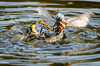 Blue-eyed Darner tries to lift-off from the pond.  Green & Brown has death grip on Blue-eyed darner, and vis-versa.