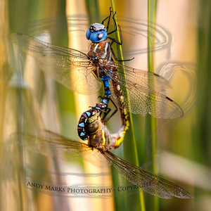 This was the only action at the pond this morning: while the 5d3 sat on a tripod awaiting Kingfishers I took the 40d and pursued noise in the reeds.   Blue-eyed darner in focus in this one: f8 would have been a better choice on camera 2