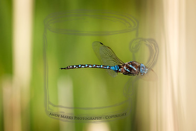 Blue-eyed Darner, frame 2, paused about 8' away.
