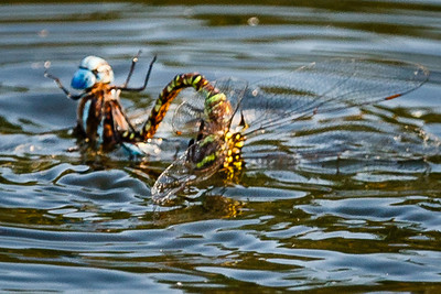 To the death - blue-eyed darner and a Green-Brown dragonfly  It seems that they've latched on to each other's bodies with their prehensile tails. The green one's head was underwater for most of the battle.