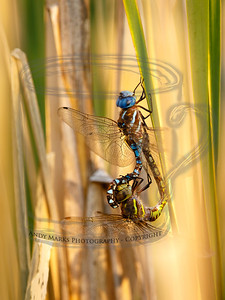 Not exactly mortal combat today. If the reeds are rocking don't come a knocking.  (check out the Blue-eyed Darner backward grip on the Green & Brown's head, and  the corresponding hold the G&B has on the Blue's tail. The reeds were rocking.
