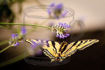 Tiger swallowtail butterfly in an inverted pike fly-away, w lavender, as presented this morning. 11July10