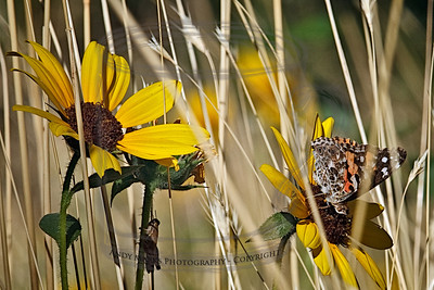 "I had my tripod legs collapsed and was shooting these two bugs on nearby ""sunflowers"". A Cooper's Hawk picked that time to buzz me and land in a nearby shrub oak thicket. 4Sept10"