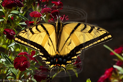 Eastern (?) Tiger Swallowtail