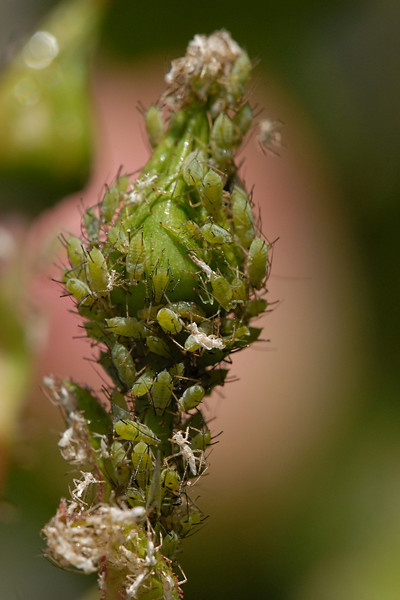 A small aphid problem....