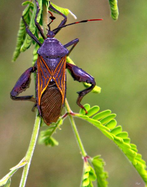 Assassin Bug (Reduviidae) -- Sonoran Desert, Arizona