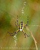 Black and Yellow Argiope female, FL (2)