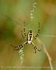 Black and Yellow Argiope female, FL (2)