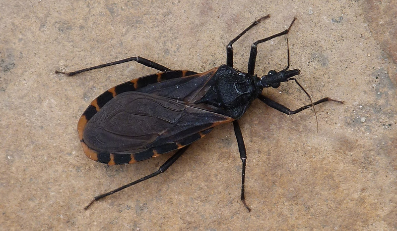 P127TriatomaGerstaeckeriKissingBug105 June 20, 2013  9:08 a.m.  P1270105 This Triatoma gerstackeri, the Kissing Bug, was sitting on the wall just inside the Courtyard gate when I arrived at LBJ WC.  It is my first for this year.  I read that the local ones don't stay on people after they bite (tracking their feces into the wound), but outdoor animals may become ill from sharing their sleeping quarters.
