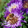 Bee -- Wenatchee, Washington