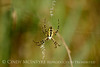 Black and Yellow Argiope female, FL (1)