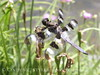 12-spotted skimmer dragonfly (5)