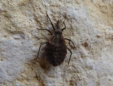 P101TriatomaKissingBugNymph056 Feb. 24, 2011   9:40 a.m.  P1010056 Kissing Bug nymph, Triatoma sp., at LBJ WC.