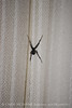 Black Widow Spider jpg