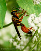 Great Golden Digger Wasp, FL (3)