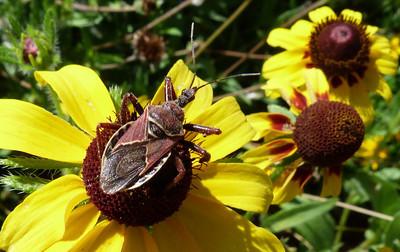 P103BeeAssassinApiomerusSpissipes082 May 26, 2011  10:25 a.m.  P1030082 Bee Assassin, Apioerus spissipes, at LBJ WC.